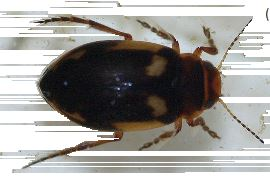 Moeraswaterroofkevertje(Hydroporus palustris)