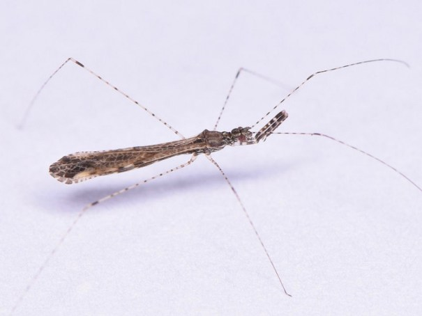 Schaarse muggenwants (Empicoris rubromaculatus)