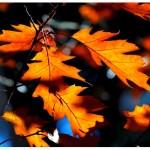 Amerikaanse eik ofRode eik,(Quercus rubra)