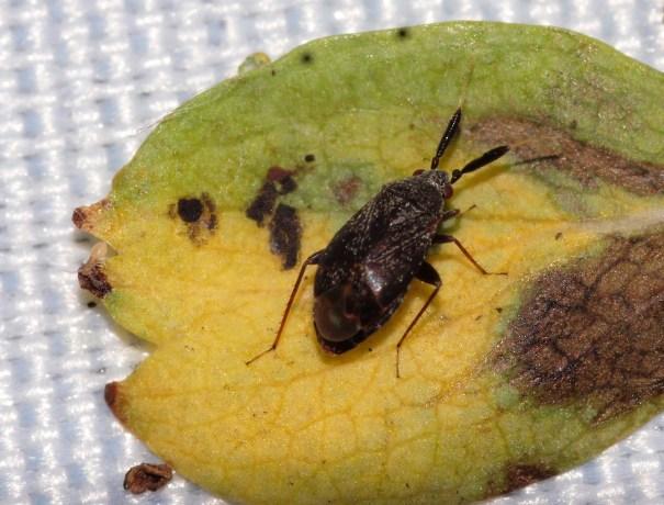 Appelsprietwants (Atractotomus mali)