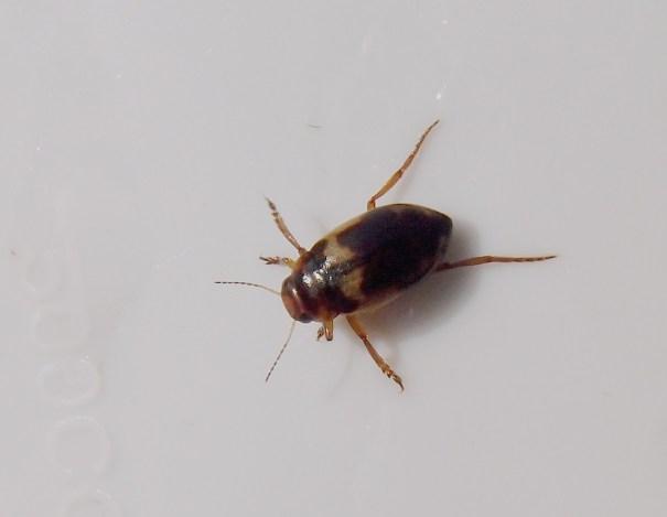 Moeraswaterroofkevertje (Hydroporus palustris)