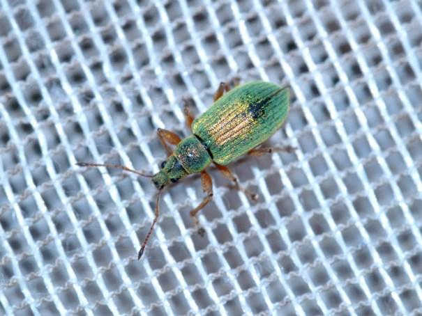 Groene bladsnuitkever(Phyllobius pomaceus)