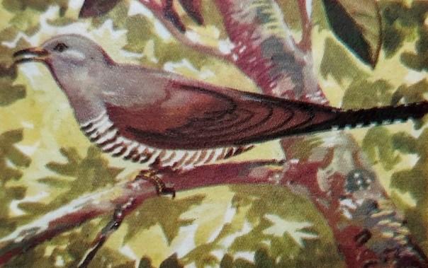 Koekoek(Cuculus canorus)