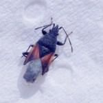 Lindenspitskop – Oxycarenus lavaterae