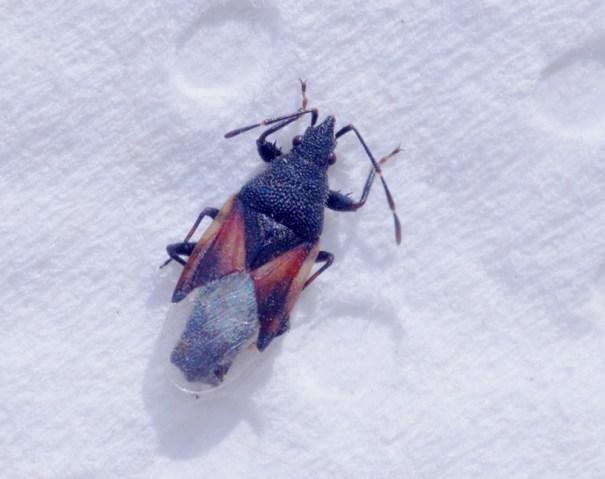 Lindenspitskop - Oxycarenus lavaterae