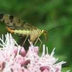 gewone schorpioenvlieg (Panorpa communis)