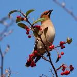 Pestvogel Bombycilla garrulus (Foto Will van Berkel, Lieshout)