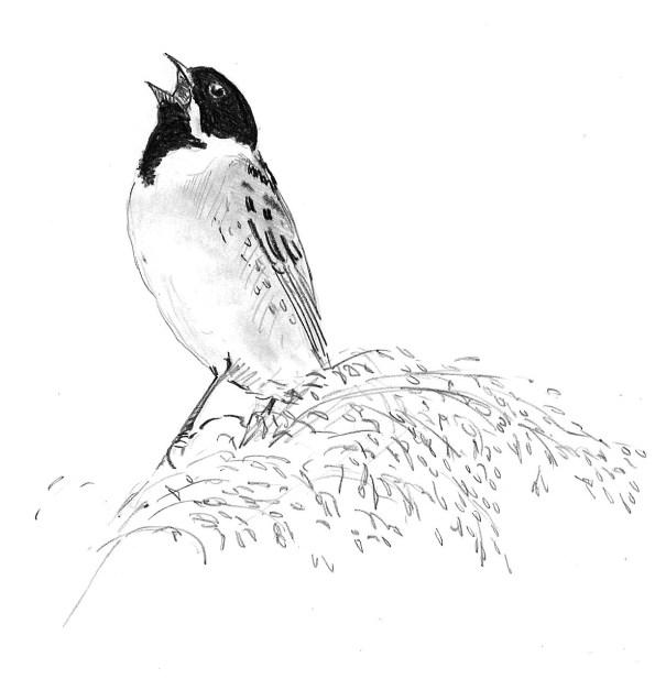Rietgors: Emberiza schoeniclus