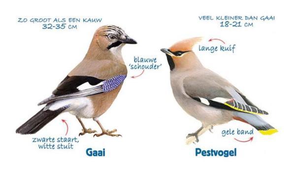 Gaai (Garullus glandarius) en Pestvogel Bombycilla garrulus