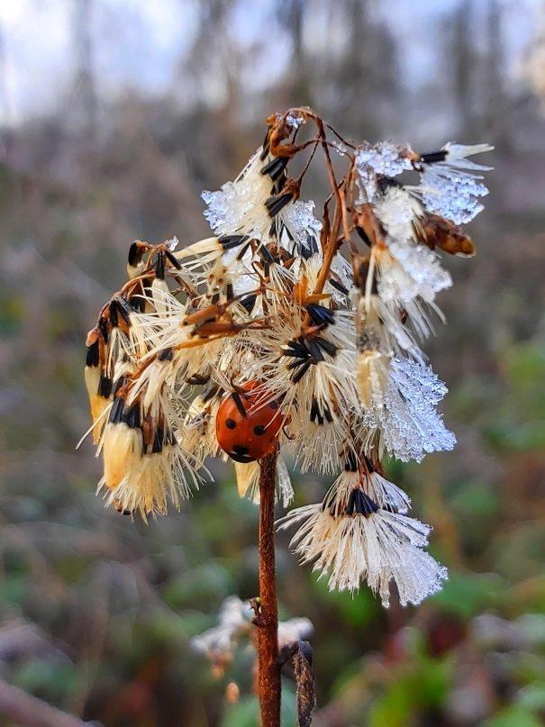 Koninginnekruid Eupatorium cannabinum