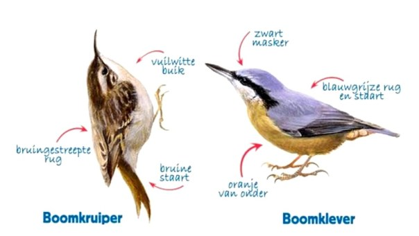 Boomklever en Boomkruiper