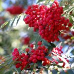 Wilde lijsterbes (Sorbus aucuparia)