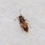 ZwartkopcymusCymus melanocephalus