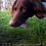 hond (Canis lupus familiaris)