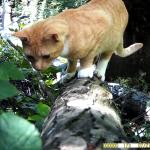 huiskat (Felis silvestris catus)