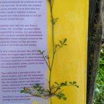 Kleine veldkers (Cardamine hirsuta)