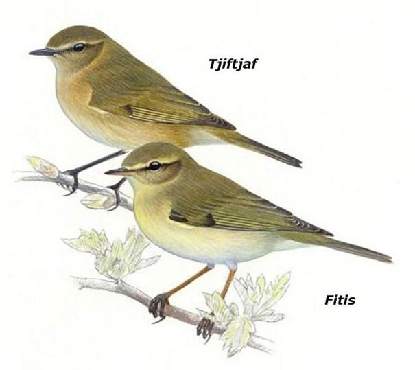 Tjiftjaf en Fitis