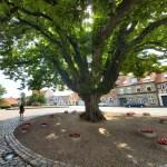 Kastanjeboom solitair op het dorpsplein in DK       (foto: Will van Berkel)
