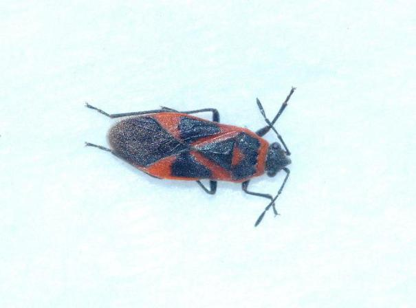Elzenridderwants (Arocatus roeselii)