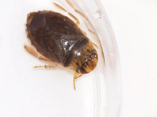 Platte waterwants (Ilyocoris cimicoides)