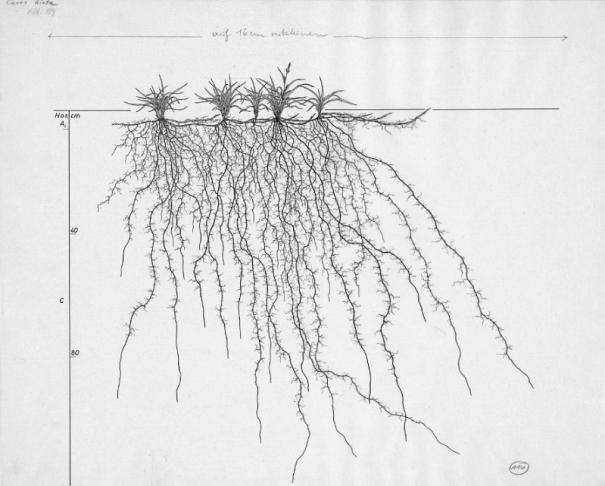 Ruige zegge – (Carex hirta)