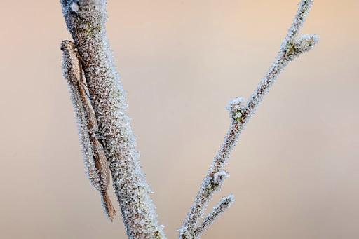 Bruine winterjuffer foto: Johannes Klapwijk