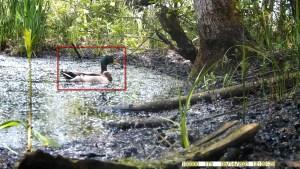 14 mei 2021: Wilde eend (Anas platyrhynchos)