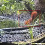 16 mei 2021: Eekhoorn (Sciurus vulgaris)