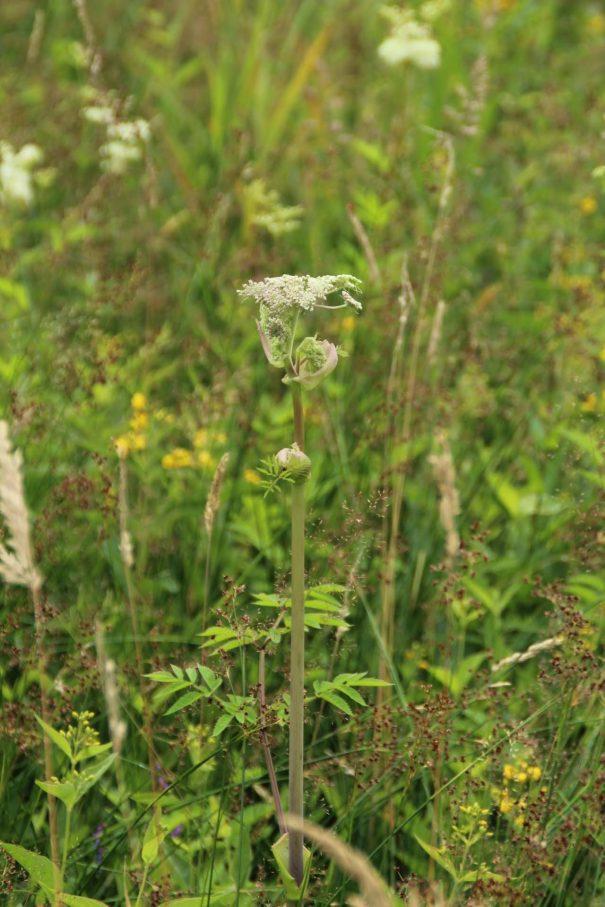 Gewone engelwortel (Angelica sylvestris)