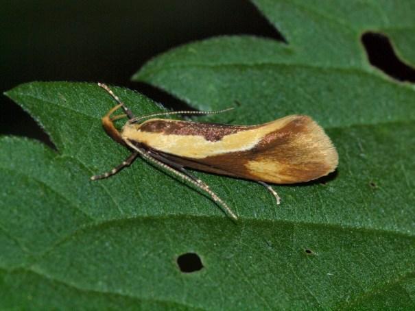 Bruine molmboorder (Harpella forficella)