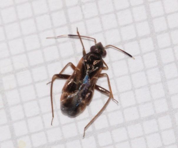 Donkerbruine mierwants Pilophorus clavatus