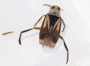 Zwart bootsmannetje Notonecta obliqua foto Will van Berkel