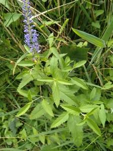 Lange ereprijs (Veronica longifolia)