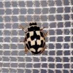Schaakbordlieveheersbeestje adult Foto Will van Berkel