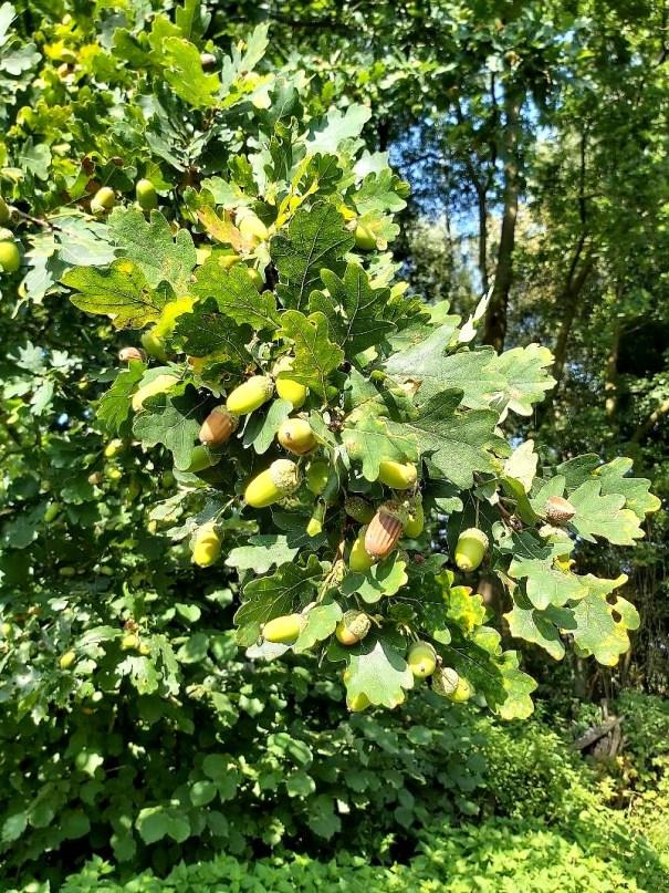 Zomereik Quercus robur