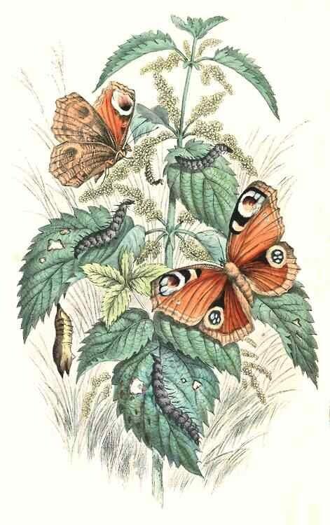 Dagpauwoog (Aglais io)