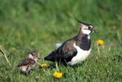 Weidevogels: een excursie door de Eempolder