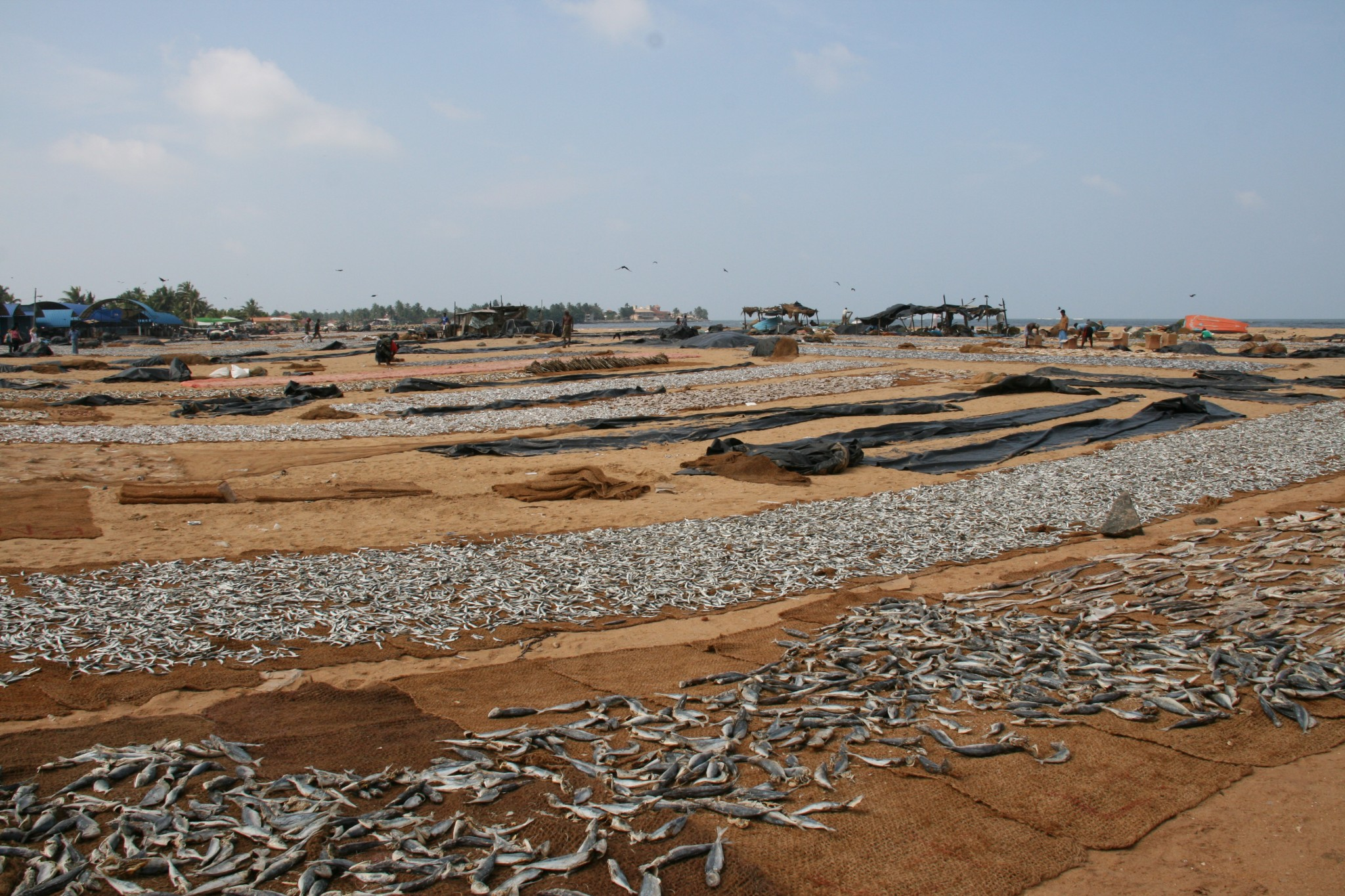 Poissons séchés à Negombo