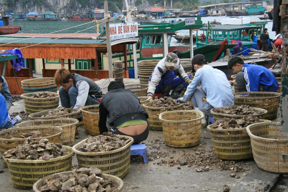 Tri des huites au débarcadère de Cai Rong