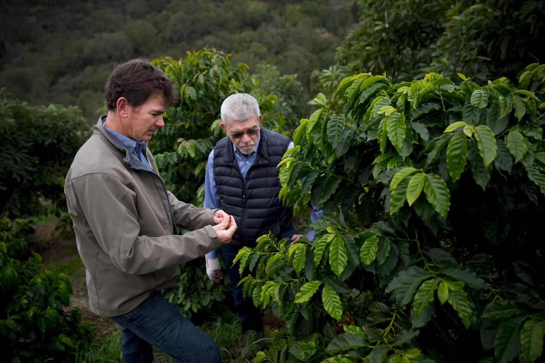 sequenziato il genoma di caffè arabica