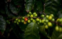 caffè arabica: sequenziato in california il suo genoma (DNA)