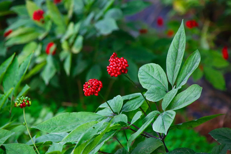 pianta di ginseng