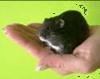 hamster op je handen laten stappen