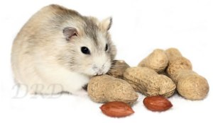 Dwerghamster met noten