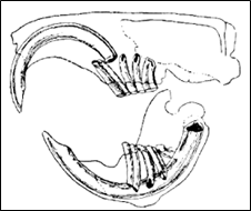 gebit van een hamster
