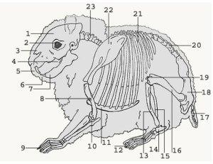 hamster anatomie skelet tekening