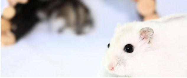 sfeerfoto van een pearl russische dwerghamster