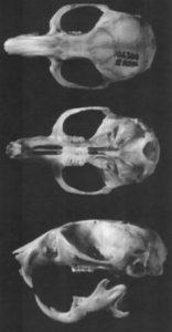 hamster schedel rontgen