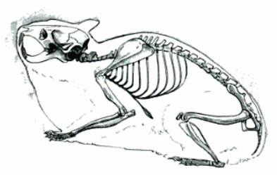 hamster skelet tekening