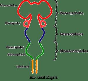 maag en darmen van de dwerghamster
